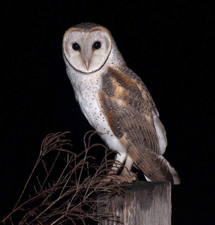 Owls Have Long Been A Part Of Folklore And Legend Paul Stein