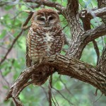 Enterprise_Spotted Owl_Strix-occidentalis
